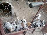 Собаки, щенки Гладкошерстный фокстерьер, цена 1400 Грн., Фото