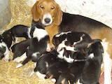 Собаки, щенята Естонський гончак, ціна 350 Грн., Фото