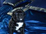 Собаки, щенята Американський стаффордширський тер'єр, ціна 9000 Грн., Фото