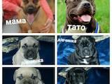 Собаки, щенки Американский стаффордширский терьер, цена 9000 Грн., Фото