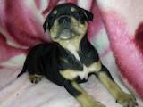 Собаки, щенки Американский стаффордширский терьер, цена 1300 Грн., Фото