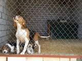 Собаки, щенята Естонський гончак, ціна 1600 Грн., Фото