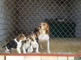 Собаки, щенки Эстонская гончая, цена 1600 Грн., Фото
