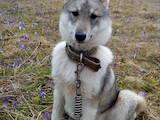 Собаки, щенки Эстонская гончая, цена 1500 Грн., Фото