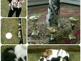 Собаки, щенки Гладкошерстный фокстерьер, цена 5 Грн., Фото