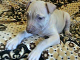 Собаки, щенки Американский стаффордширский терьер, цена 7000 Грн., Фото