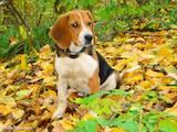 Собаки, щенки Эстонская гончая, Фото
