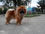 Собаки, щенки Чау-чау, Фото