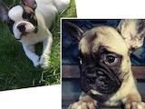 Собаки, щенята Французький бульдог, ціна 5500 Грн., Фото