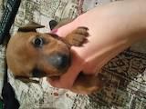 Собаки, щенята Пінчер, ціна 2500 Грн., Фото