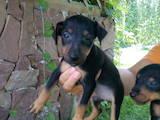 Собаки, щенята Ягдтер'єр, ціна 850 Грн., Фото