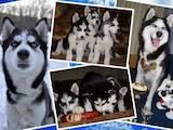 Собаки, щенки Сибирский хаски, цена 5500 Грн., Фото