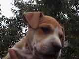 Собаки, щенята Американський стаффордширський тер'єр, ціна 1500 Грн., Фото