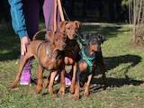 Собаки, щенки Доберман, цена 8999 Грн., Фото