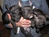 Собаки, щенята Французький бульдог, ціна 6500 Грн., Фото