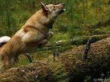 Собаки, щенки Западно-Сибирская лайка, цена 5200 Грн., Фото