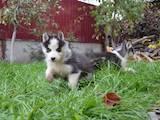 Собаки, щенята Сибірський хаськи, ціна 5000 Грн., Фото