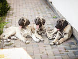 Собаки, щенки Среднеазиатская овчарка, цена 18000 Грн., Фото