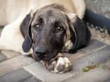 Собаки, щенята Середньоазіатська вівчарка, ціна 18000 Грн., Фото