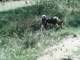 Собаки, щенки Западно-Сибирская лайка, цена 2200 Грн., Фото