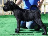 Собаки, щенята Різеншнауцер, ціна 10000 Грн., Фото