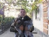 Собаки, щенки Немецкая жесткошерстная легавая, цена 5000 Грн., Фото