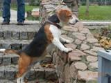 Собаки, щенята Бігль, ціна 250 Грн., Фото