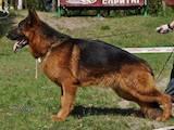 Собаки, щенята Німецька вівчарка, ціна 2800 Грн., Фото