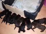 Собаки, щенята Лабрадор ретрівер, ціна 2499 Грн., Фото
