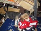 Собаки, щенята Бігль, ціна 6500 Грн., Фото