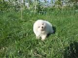 Собаки, щенки Померанский шпиц, Фото