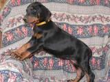 Собаки, щенята Доберман, ціна 12500 Грн., Фото