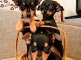 Собаки, щенки Русский гладкошерстный тойтерьер, цена 2800 Грн., Фото