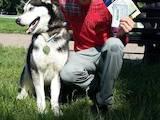 Собаки, щенята Сибірський хаськи, ціна 3800 Грн., Фото