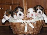 Собаки, щенки Бигль, цена 15000 Грн., Фото