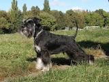 Собаки, щенки Цвергшнауцер, цена 7000 Грн., Фото
