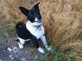 Собаки, щенки Восточно-Сибирская лайка, цена 1500 Грн., Фото