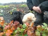 Собаки, щенки Лабрадор ретривер, цена 1800 Грн., Фото