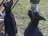 Собаки, щенята Доберман, ціна 3000 Грн., Фото