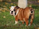Собаки, щенята Англійський бульдог, ціна 18000 Грн., Фото