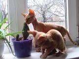 Кошки, котята Донской сфинкс, цена 800 Грн., Фото