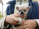 Собаки, щенята Чихуа-хуа, ціна 10000 Грн., Фото