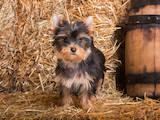 Собаки, щенята Йоркширський тер'єр, ціна 18200 Грн., Фото