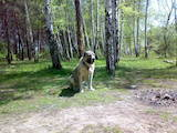 Собаки, щенята Середньоазіатська вівчарка, ціна 4999 Грн., Фото