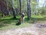 Собаки, щенки Среднеазиатская овчарка, цена 4999 Грн., Фото