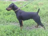 Собаки, щенята Німецька жорсткошерста лягава, ціна 300 Грн., Фото