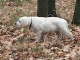Собаки, щенки Лабрадор ретривер, цена 13000 Грн., Фото