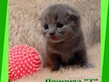Кошки, котята Шотландская вислоухая, цена 3000 Грн., Фото