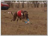 Собаки, щенята Грейхаунд, ціна 7000 Грн., Фото