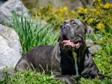 Собаки, щенки Кане Корсо, цена 20000 Грн., Фото
